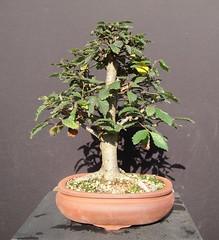 DSC02934 (jeremy_norbury) Tags: beds bonsai growing patch