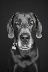 A Blue Great Dane Named Butler (Back in the Pack) Tags: blue portrait bw dog brown colour calgary dogs puppy sitting head greatdane butler 5d 50mmf14 ringlight dogdaycare 5dmarkii wwwbackinthepackca eos5dmarkii akcwinner albertabarks