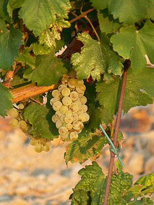 raisin blanc Provence.jpg