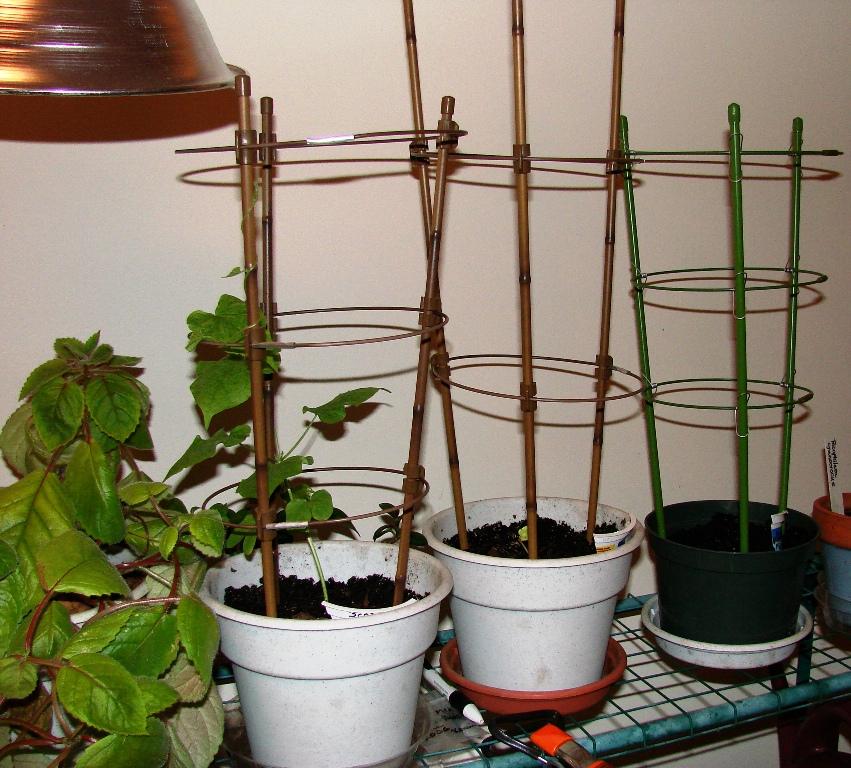 Indoor asagao garden 1
