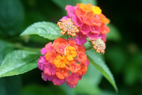 Colourful flower, near Chocolate Hills