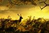 On the lookout (Printed in the Daily Telegraph) (Chris Beesley) Tags: light sun mist yellow sunrise nt deer dunhammassey pentaxk100dsuper pentax55300