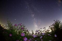 COSMOS (masahiro miyasaka) Tags: pink flower japan night canon stars iso3200 star fisheye galaxy astrophotography pinkflower technique cosmos oneshot milkyway sigma15mmf28exdgfisheye Astrometrydotnet:status=failed eos5dmark Astrometrydotnet:id=alpha20100905264623