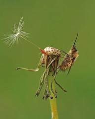 """"""" Bombyliidae """" (carlespoveda) Tags: macrolife bestofmywinners"""