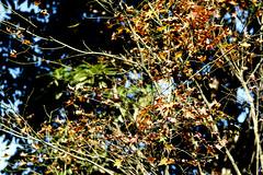 (ddsnet) Tags: autumn plant leaves sony taiwan autumnleaves   taoyuan autumnal 900      leaves autumn autumn leaves 900 851 85