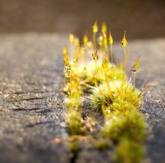 Musguito con pelos (Sylvia Rueda) Tags: england nature explore oxford waterdrops minimalismo gotitasdeagua luzdorada lavueltaalmundo musguitoconpelos