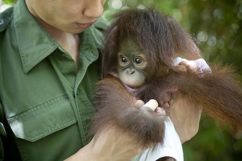 Tenten, the orang utan baby