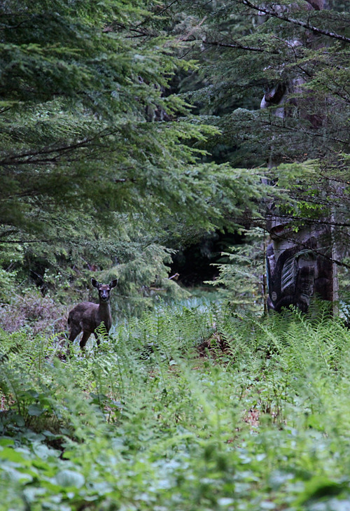 young deer in Totems Historic District, Kasaan, Alaska