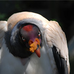 King Vulture @ Berlin zoo thumbnail