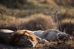 By Paul Goldstein (Exodus Travels - Reset your compass) Tags: kenya wildlife lion safari ke masaimara