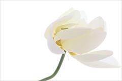 Lotus Flower - IMG_5268 (Bahman Farzad) Tags: flower macro yoga peace lotus relaxing peaceful meditation therapy lotusflower lotuspetal lotuspetals lotusflowerpetals lotusflowerpetal