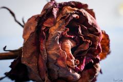 Decrépita belleza (Krrillo) Tags: roja david carrillo krrillo sony a6000 35mm neewer f17 fotografia photography anillos aproximación macro rosa seca
