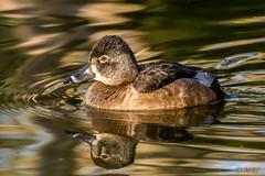 Reflecting Ring Necked-Duck (MelRoseJ) Tags: sanfrancisco california unitedstates sonyalpha sal70400g sony sonyilca77m2 a77ii alpha autofocus nature birds bayarea goldengatepark lloydlake ringneckedduck
