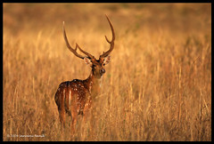 Chital - Kanha Tiger Reserve (The Eternity Photography) Tags: india tourism nature animal canon mammal nationalpark stag wildlife deer safari 2009 sanctuary wildlifesafari digitalphotography jinke harini madhyapradesh cheetal kanhatigerreserve axisdeer chital kanha hiran cervidae centralindia wildlifephotography wildindia indianwildlife kanhanationalpark spotteddeer incredibleindia axisaxis horin kanhawildlifesanctuary chitaldeer santanubanik theeternity duppi httpwwwfrozenforeternitycomimagesindexphp     pullimaan phutukihorin wwwfrozenforeternitycom