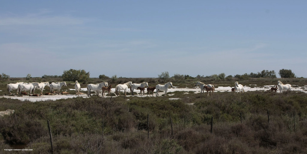 Chevaux dune manade, et leurs poulains