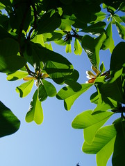 Magnolia officinalis v. biloba backlit