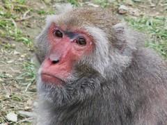 Macaque, Taipei Zoo (sanesanebutinsane) Tags: taipeizoo