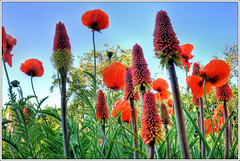 Red Hot Pokers and Poppies at Old Rectory (cstgpa) Tags: uk flowers red psp countryside nikon somerset poppies paintshoppro hdr holton redhotpoker photomatrix cstgpa
