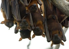 LITTLE RED FLYING FOXES (petefeats) Tags: nature australia qld yeppoon littleredflyingfox cabbagetreecreek