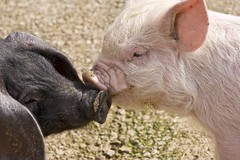 piglets kiss (Black Cat Photos) Tags: uk england cute love animal blackcat hearts happy photography pig photo nice hug kiss warm europe heart farm joy warmth valentine m special valentines heartwarming piglet lovely february 14th celebrate occasion tender valentinesday snout smooch happyvalentines valentinesdaycard fourteenth valentinescard hvd 14thfebruary blackcatphotography blackcatphotos