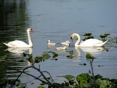 Swans (deu49097) Tags: swans