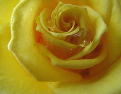 Annual Picture of Yellow Rose Right Outside My Front Door ~ 2009 (Pixel Packing Mama) Tags: cool nice great flickrcentralpool outstanding exclamationpoints 15favourites flowersset views50 flowerspool pixelpackingmama dorothydelinaporter worldsfavorite yellowpool yisforyellow abcsand123spool closerandclosermacrophotographypool flowerswithraindropspool exclamationpointspool pixwithexclamationpointsincommentsset natureselegantshots macrocloseupshotspool aestheticspool yellowset amarilloamarillopool mellowyellowpool thatsgettingupclosepool allthingsmacropool canonpowershota720isiistart112508set canonallcanoniistart112508set thecorvallisoregonyearsiistarting112508set uploadedfirsthalfof2009set views5175pool thecorvallisoregonyearspart7set fourseasonsspringspringspringpool 50plusphotographersaged50andbetterpool abcsand123sset favupmovedtofavoritedpixvol2 favoritedpixvolii~1sthalfof2009set yellowmaniapool watchfor5f pixelpackingmama~prayforkyronhorman oversixmillionaggregateviews over430000photostreamviews