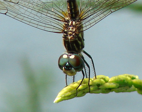 dragonflyeyes2