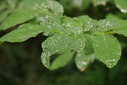 Diamond-like dew drops