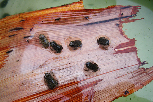 Not only are there tadpoles, but there are froglings. Erh, toadlings.