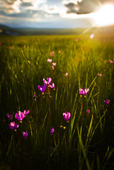 Shooting Star Yellowstone (girltwin) Tags: pink america landscape dusk meadow yellowstonenationalpark yellowstone wyoming d200 hdr sunstar lucisart shootingstar sidelight girltwin theunforgettablepictures platinumheartaward nationalparknature defendersphotocontest2010