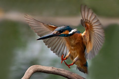 II Spread the wings () Tags: bird kingfisher distillery birdwatcher commonkingfisher  top20birdshots specanimal platinumpeaceaward