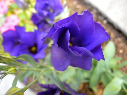 Nikon P6000 Tests (Purple Flower)