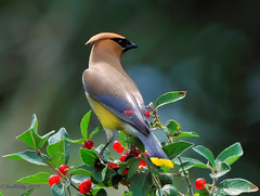 Cedar Waxwing (Bombycilla cedrorum) (JRIDLEY1) Tags: red summer black green bird yellow berries michigan wax kensington cedarwaxwing naturesfinest zenfolio infinestyle brightonmichigan nikond3 vosplusbellesphotos jridley1 jimridley photocontesttnc09 dailynaturetnc09 httpjimridleyzenfoliocom photocontesttnc10 lifetnc10 jimridleyphotography photocontesttnc11 photocontesttnc12