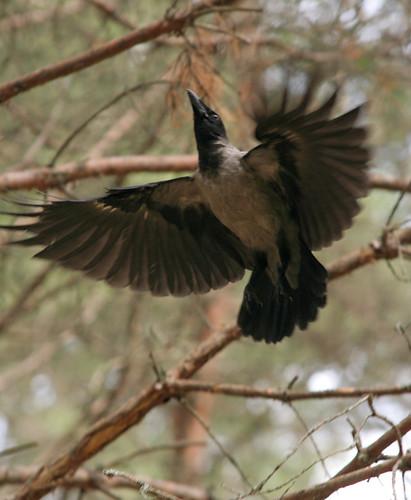 Селигер-2009. Ворона в лесу рядом с преподавательским лагерем