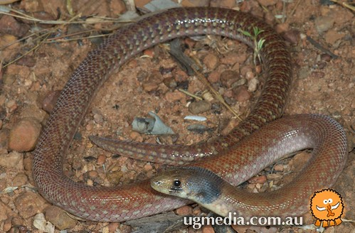 Northern hooded scaly-foot (Pygopus steelescotti)
