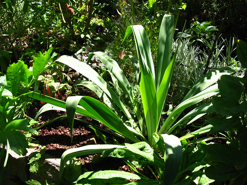 2009-08-01 garden; Beschorneria rigida