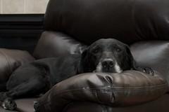 Make yourself comfortable Libby (pmarkham) Tags: old usa dog dogs comfortable chair lab labrador blacklab libby labradorretriever mn loretto
