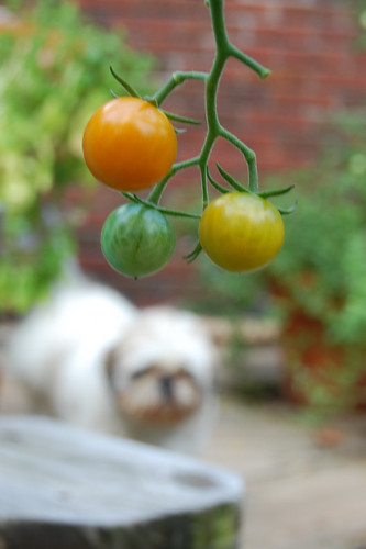 Tomatoes and Oliver