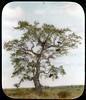 Bee hives in tree (The Field Museum Library) Tags: africa expedition nairobi 1906 mammals beehive 1905 mountkenya lanternslide britisheastafrica carlakeley zoologyexpedition handcoloredglasslanternslide munarago