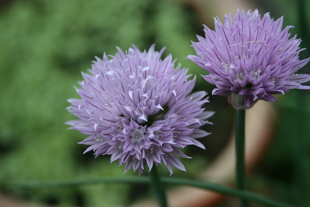 Photo: Chives