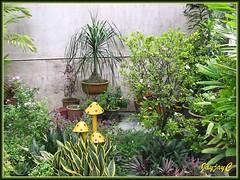 Our September 2009 tropical garden delights at the frontyard