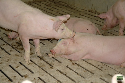 3986195237 54d674b6fb How does the rearing of pigs look like?