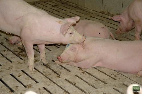 Schweinemast bedeutet meistens auch Vollspaltenboden