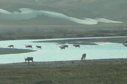 Caribou watering at the Sagavanirktok River