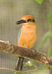 Sihek (Micronesian Kingfisher)