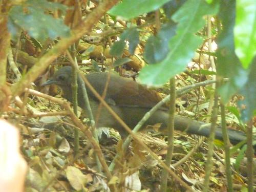 Lyerbird