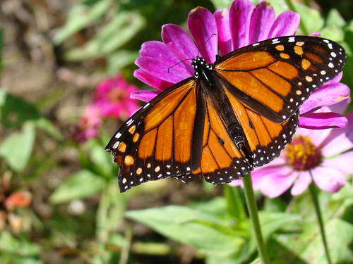 Male Monarch 10-20-09