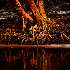 Thirst (aftab.) Tags: africa reflection tree water roots zambia zambeziriver canonef100400mmf4556lisusm explored