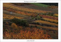 Flamboyance (Michel Seguret thanks you all for + 7.700.000 view) Tags: autumn light france fall luz nature automne season licht vineyard vines nikon flickr via lumire postcard herbst natur herfst vine natura vineyards pro otoo d200 autunno vignes arbre lux vigne luce languedoc vite boyne viticulture verger temporada weinberg viticultura mbp lumen languedocroussillon smrgsbord photographe saison herault aveyron weinstock vid cartepostale  vigneto midipyrenees peyrelade weinbau rouergue stagione viticoltura kartpostal golddragon francelandscapes thisphotorocks mostbeautifulpicture dragongoldaward  flickrpopularphotographer croquenature valleedutarn mbpictures mostbeautifulpictures michelseguret