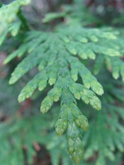Arborvitae (Shadespring) Tags: plant fern green nature leaves closeup garden outside outdoors leaf segment segmented